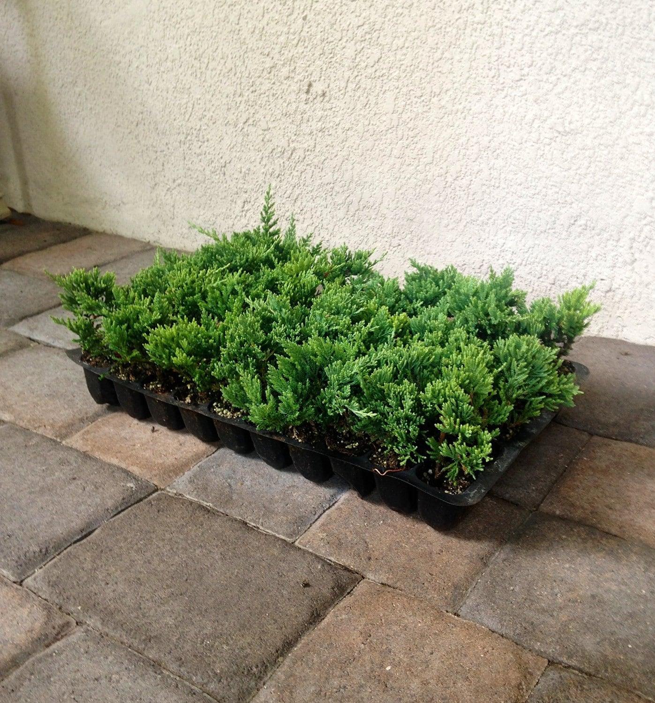 Blue Rug Juniper Live Plants Evergreen Ground Cover Juniperus