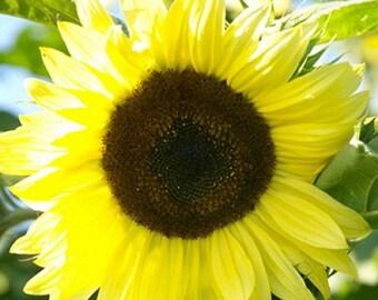 Sunflower-Lemon Queen- 100 seeds