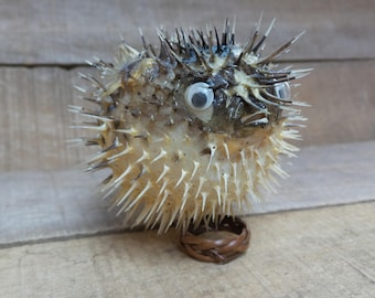 4'' to 5'' Porcupine Blowfish, 1 Piece
