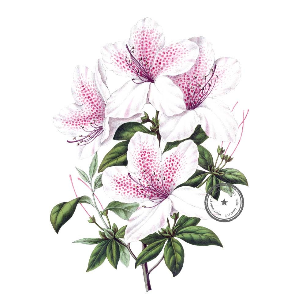 Azalea Flower Clip Art Vintage Clipart White And Pink Floral
