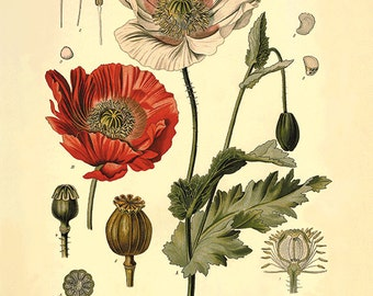 Red poppy art antique prints flower art print botanical prints Home decor wall art Vintage prints Victorian art  old prints plant art print