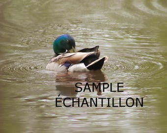 Digital download of a mallard duck photography. Perfect gift for her or him. To frame it for you. DIY