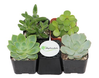 """2"""" Green Succulent Plant Collection - live succulents, potted succulents, bulk succulents, wholesale succulents, succulent gifts"""