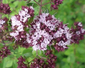 MArjoram organic herb seeds 0.80gr 700 - 800 seeds