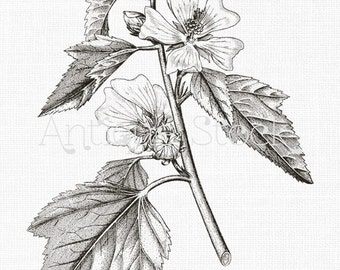Digital Download Flower 'Marshmallow' Botanical Line Art Image for Invitations, Scrapbook, Prints, Collages, Wall Decor, Crafts...