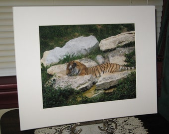 Matted, Tiger, Louisville Zoo, Louisville, KY, Fine Art, Photography, Print, 8 x 10, Glossy