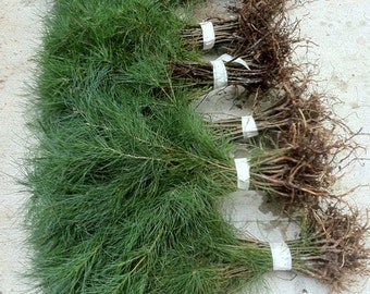 "Storm Recovery Transplant Seedlings 15 White Pine Tree 15"" to 19""  inch fresh starter seedling"