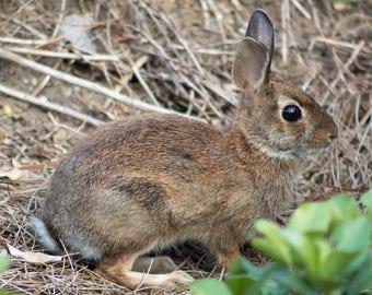 Eastern Cottontail Rabbit - Georgia - Animal - Print