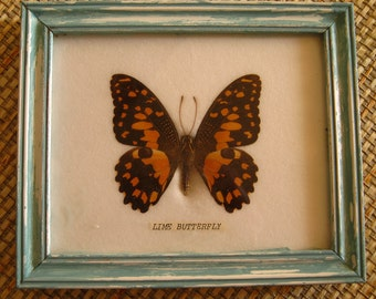 Authentic Lime Butterfly, framed