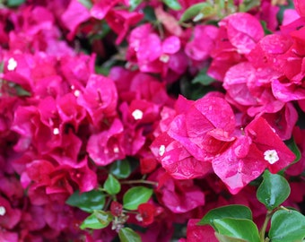 Raindrops on Hot Pink Bougainvillea Petals (Digital File)