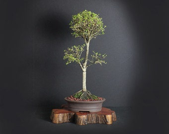 """Neea buxifolia bonsai tree, Puerto Rico Native Collection from LiveBonsaiTree"""""""