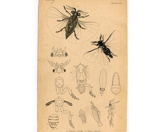 c. 1843 PARASITE INSECT engraving - original antique print - animal bug engraved print no. 7 - STYLOPS