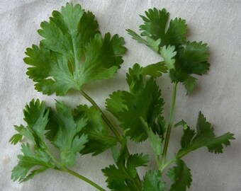 Organic Cilantro Seeds *Santo* ~Mycorrhizae Inoculated/Bulk Available~