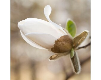 Magnolia  Photograph, Spring Blossom, White, Sepia Photography, Earth Tones, Rustic Wall Decor, Woodland Art