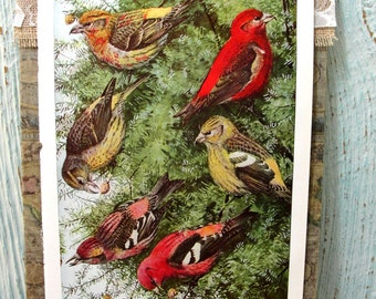 Vintage Book Page, Book Print, Illustration, Bird Print, Lithograph, Color Plate, 1920s Book Page, Bird Art, Redpoll, Siskin