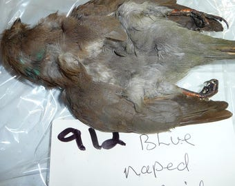 Taxidermy Blue naped mouse bird  Bird Skin 912