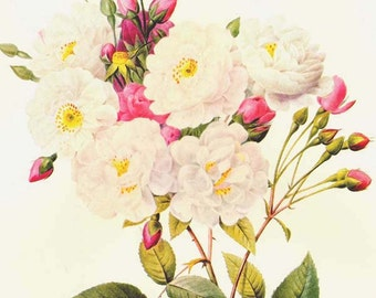 Noisette's Rose Redoute Rosa Noisettiana Vintage Flower Botanical Lithograph Poster Print To Frame 32