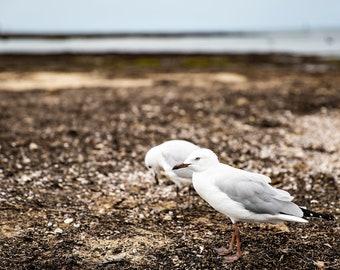 Fine Art Print - Seagulls, Ricketts Point, Vic. Australia.