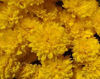 Beautiful Bright Sunshine Yellow Fall Mums.  Digital Download Photograph.