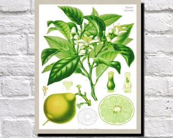 Bergamot Drawing, Bergamot Orange Print, Antique Botanical Print, Vintage Plant illustration, Bergamot Wall Art, Koehler Illustration 0495