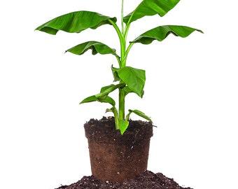 Cold Hardy Basjoo Banana tree