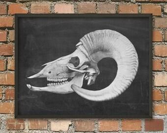 Ram Skull Antlers Poster - Animal Antlers Print - Vintage Antlers Illustration - Antique Anatomy - Skeletal Anatomy -Skull Biology Art Print