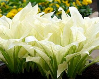 hosta White Feather (small) ~ white leaves in Spring - 2-4 eyed starter plant