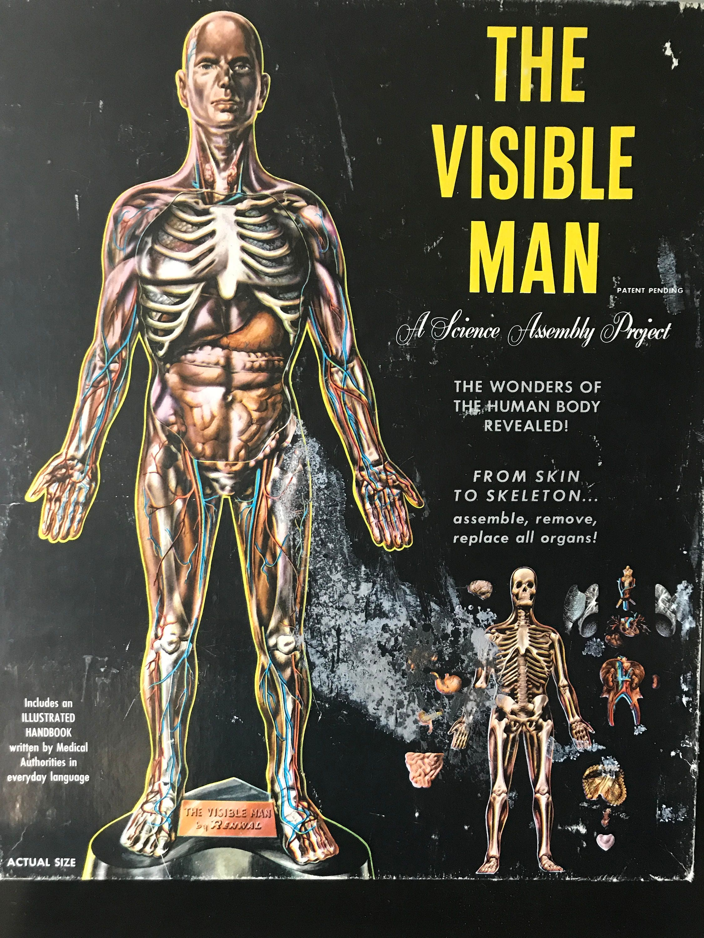 v i n t a g e Visible Man Anatomical Model . Copyright 1959 ...
