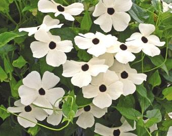 Thunbergia Seeds Susie White W/Eye Black Eyed Susan Vine 25 Seeds