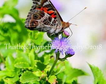 Butterfly Photograph - American Painted Lady 5x7 photographic print