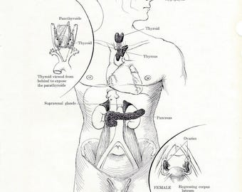 Human Anatomy Endocrine Glands Vintage Medical Anatomy Illustration to Frame or for Collage, Scrapbooking, Paper Arts and MORE PSS 3240
