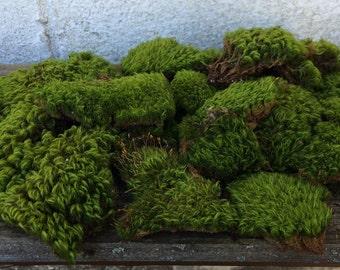 Moss, Mood Moss / Frog Moss, Terrariums, Fairy Gardens, Crafts, Wreaths, Rustic Wedding, Miniatures, Landscaping, Natural, Organic, Gift