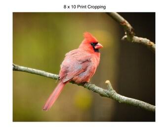 Male Cardinal II
