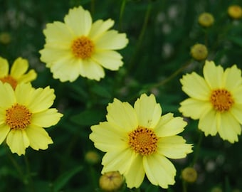 Full Moon Coreopsis Seeds