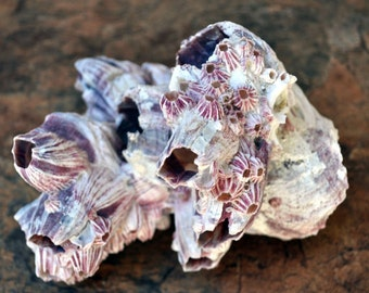"Large Purple Barnacle Cluster (5-7"")"