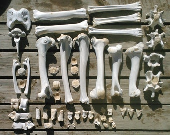 Wild Amimal Bones by the POUND Cleaned/Sanitized for Crafting/Jewelry/Sculpture/Costume Design. Found Real Bone (Mostly Elk/Bison)