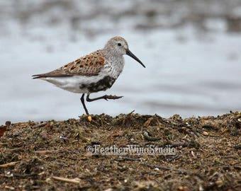 Dunlin Photo | Shorebird Photography | Cute Bird | Shoreline Wall Decor | Plover Peep Sandpiper | Nursery Child Wall Hanging | Bird Print