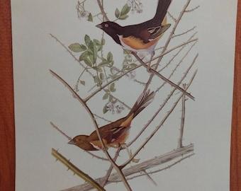 Vintage Audubon Bird Print, Original 1950s book plate
