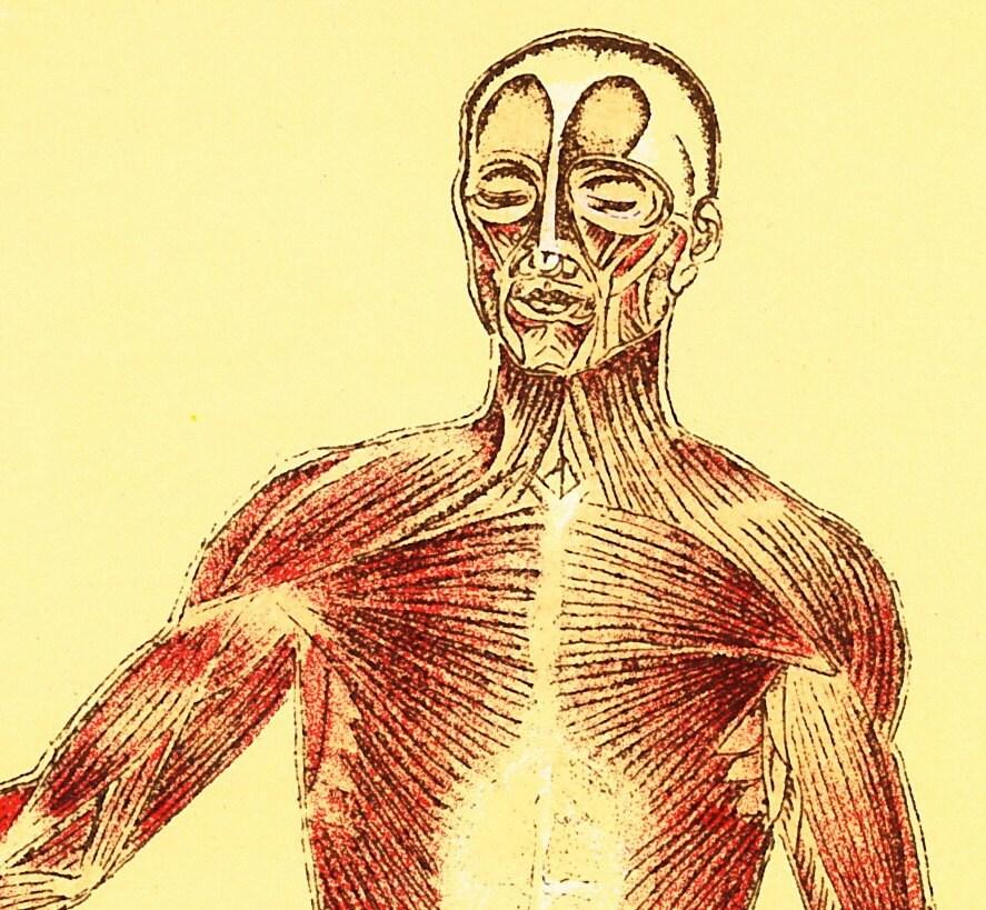 Menschliche Muskeln medizinischen Diagramm 1916 Abbildung der
