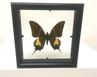 Beautiful Teinopalpus Imperialis Butterfly/Insect/Taxidermy/Lepidoptera