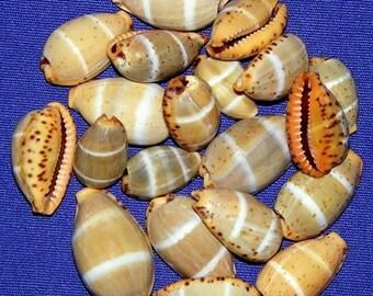 "Cypraea lutea Cowry Shell ~18/20mm.""~Specimen Collector Seashell (Each) ~ We Do Not Offer International Shipping ~"