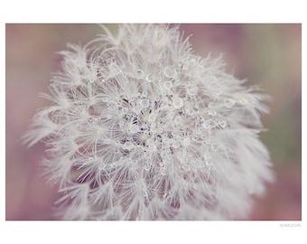 Nature Photography PRINT, Frosty Dandelion- 2, Wall Art