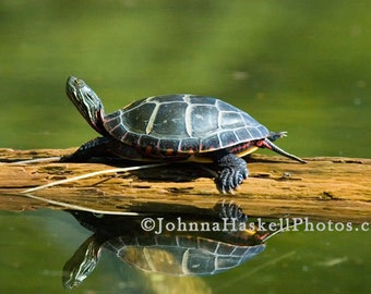 Painted Turtle Reflection-  8x10 Fine Art Nature Willdlife Photography painted turtle on log
