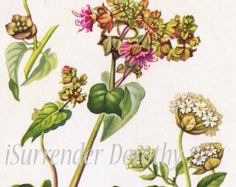 Umbrella-wort Sand Verbena Botanical Art  Vintage Lithograph Print To Frame 46