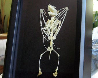 Real Vampire Wolf Faced Bat Skeleton Eonycteris Spelaea Taxidermy Museum Quality Framed In Display