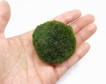 Buy 1 GIANT get 1 LARGE ball FREE!  Marimo Moss Ball for Terrarium Planted Tanks Live Aquarium Indoor Plant Graduation Gift