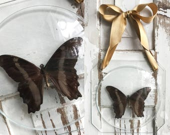 Ancient butterfly preparation behind glass with gold ribbon/ancient butterfly taxidermy behind glass with gold bow