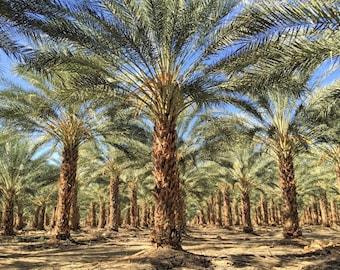 Phoenix dactylifera True Date Palm 20 seeds FREE SHIP to U.S. Only