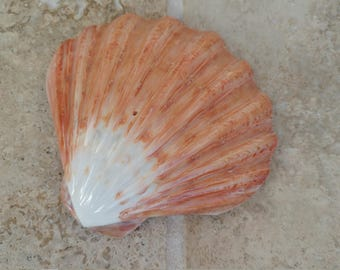 Lions Paw Shell - Seashell - Orange and White  - Polished Shell - Scallop Shell # 161 - Ask for Int'l ship rates
