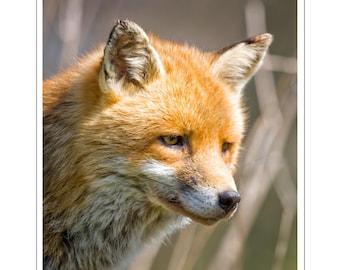 Fox - A4 fine art print - 14 x 11 inches Mount, red fox - british fox - fox photograph - uk wildlife print - fox lovers photo